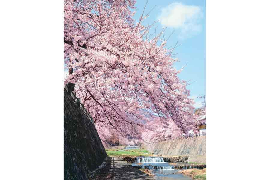 芦屋川沿いに咲く桜