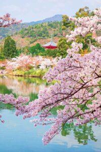 大覚寺の池と桜