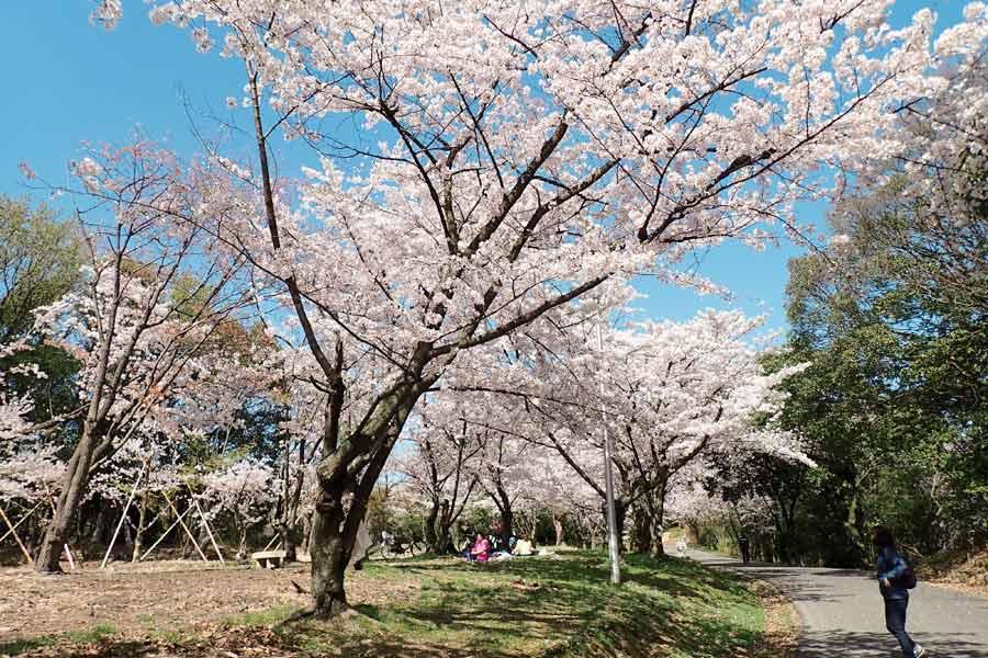 服部緑地の満開の桜