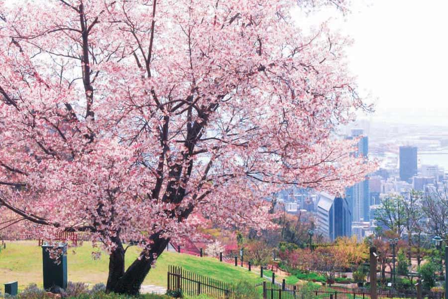 神戸布引ハーブ園の桜と神戸の街並み
