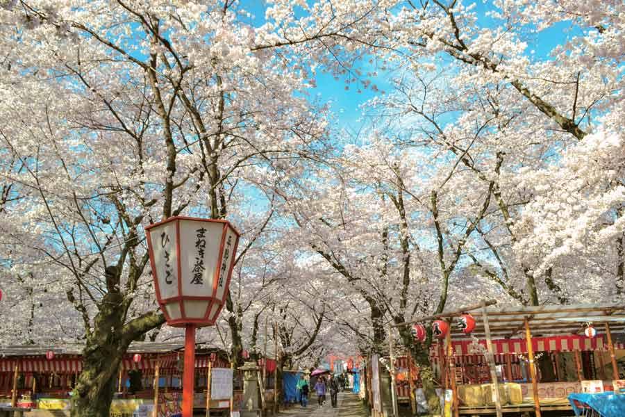 満開の桜と茶屋の提灯