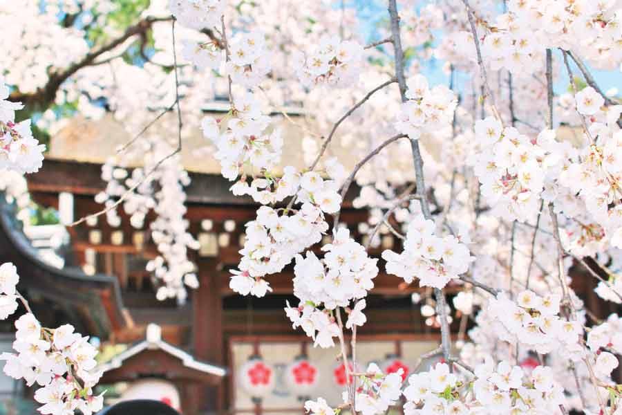 満開の平野神社の桜