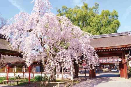 桜が満開の平野神社