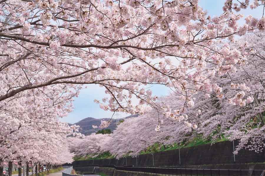 猪名川町の川沿いに咲く満開の桜