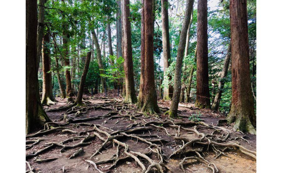 鞍馬寺の木の根道