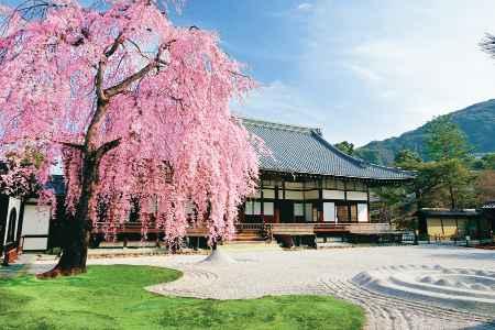 庭に咲いた枝垂れ桜