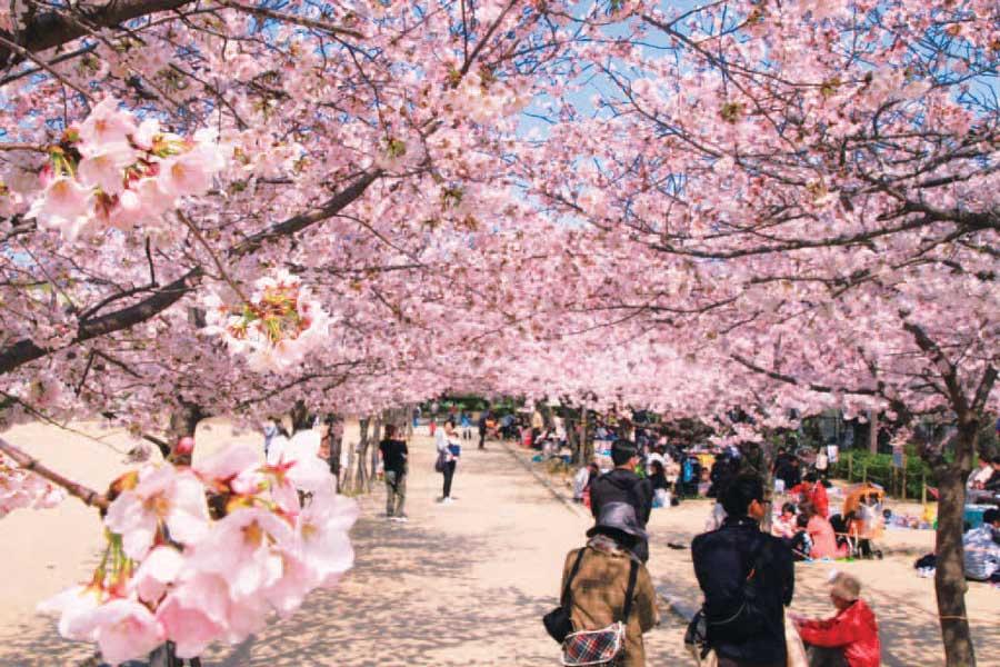 昆陽池公園を彩る満開の桜