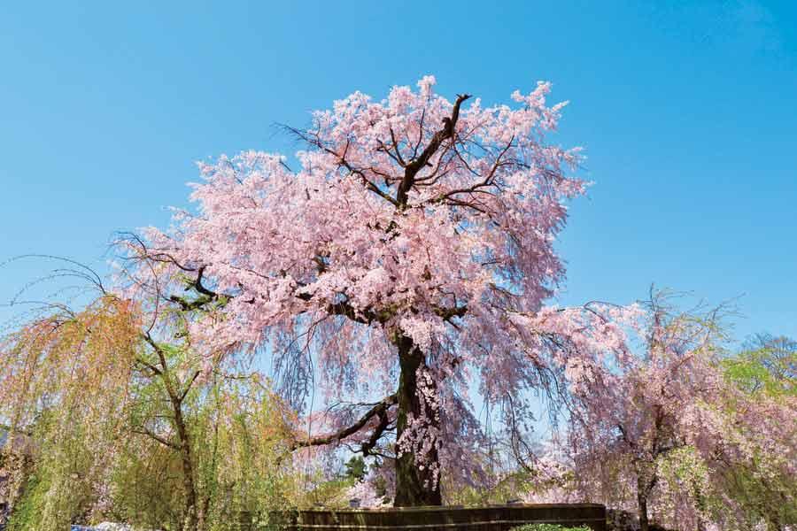 円山公園の満開の桜