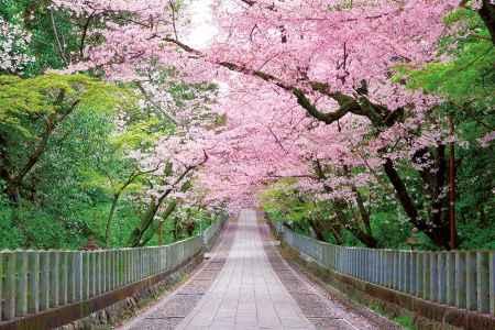 向日神社の参道に咲く満開の桜