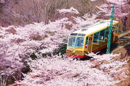妙見山の桜
