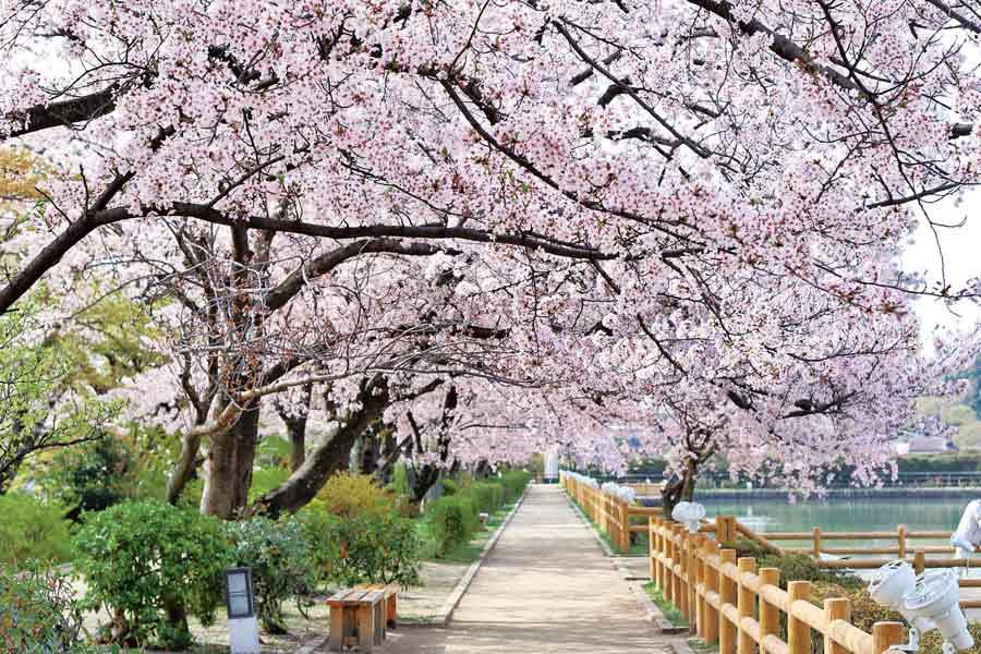 池のほとりの桜のトンネル