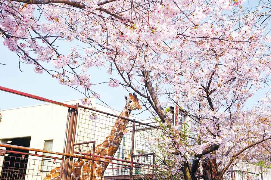 キリンと満開の桜
