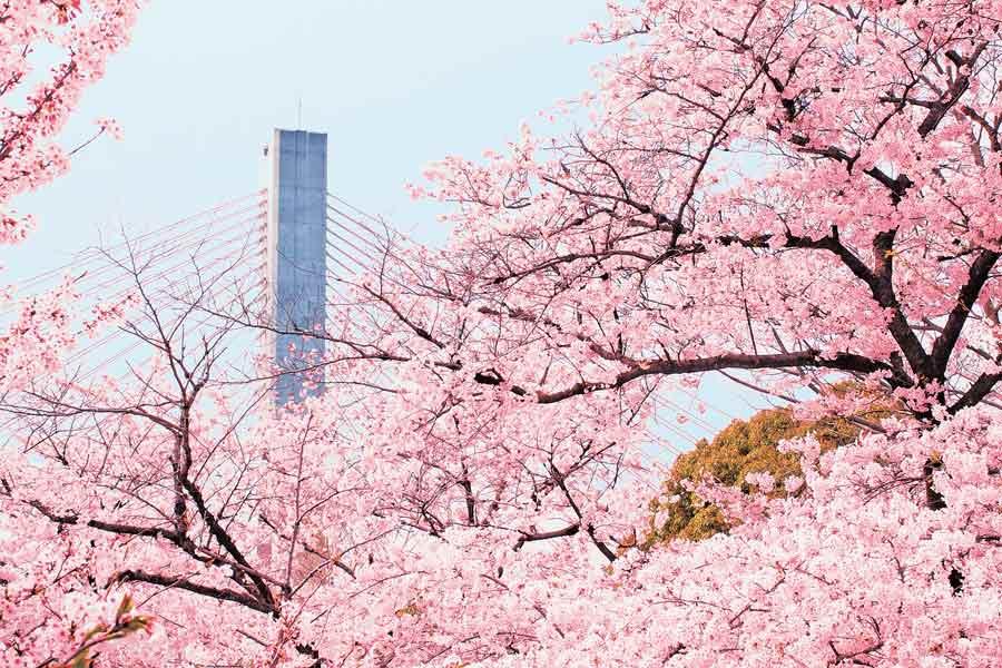 五月山の桜とビッグハープ