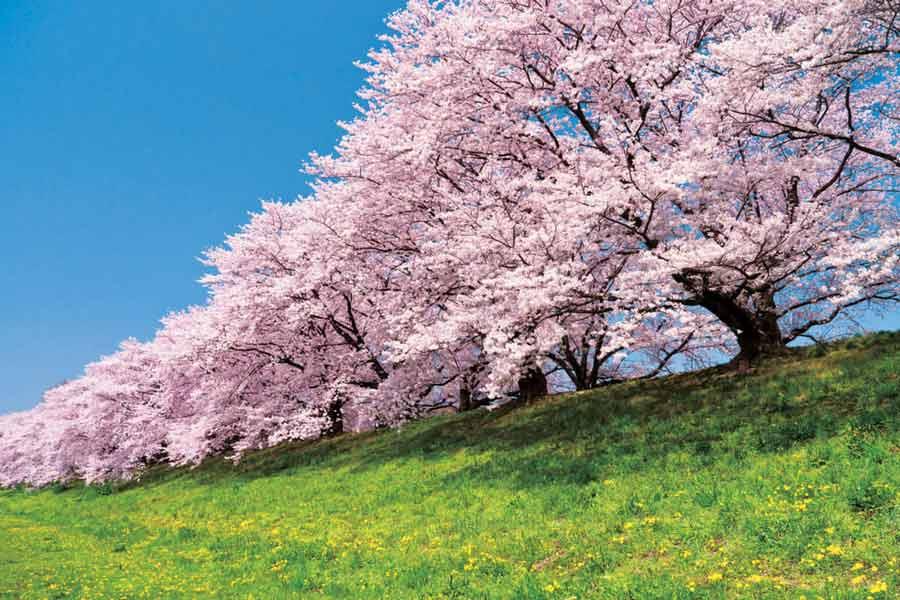 背割堤地区の満開の桜