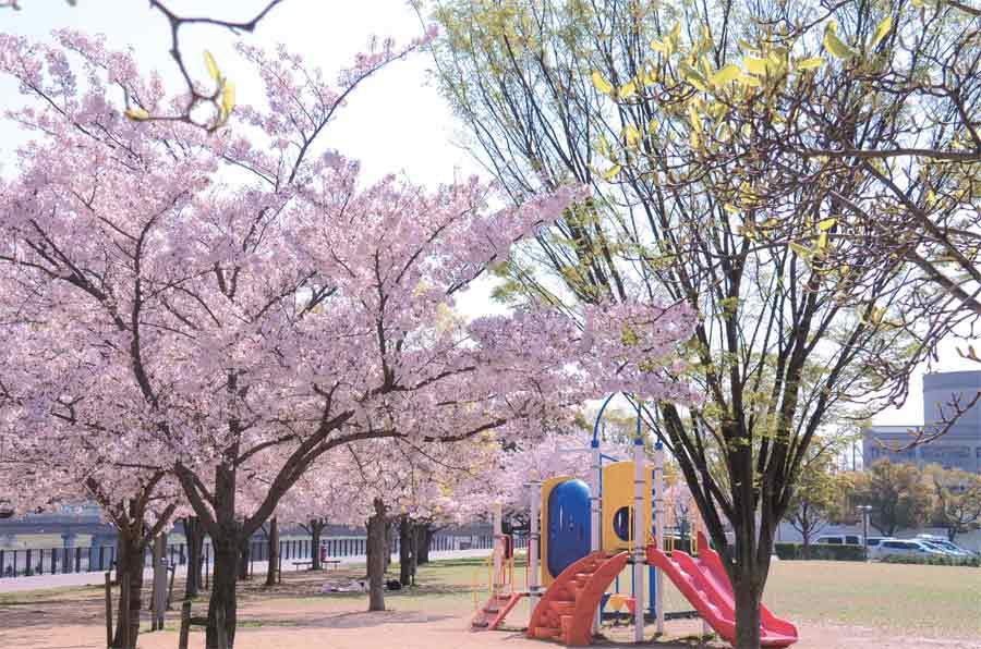 末広中央公園の遊具と桜