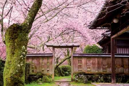 勝持寺の桜と山門
