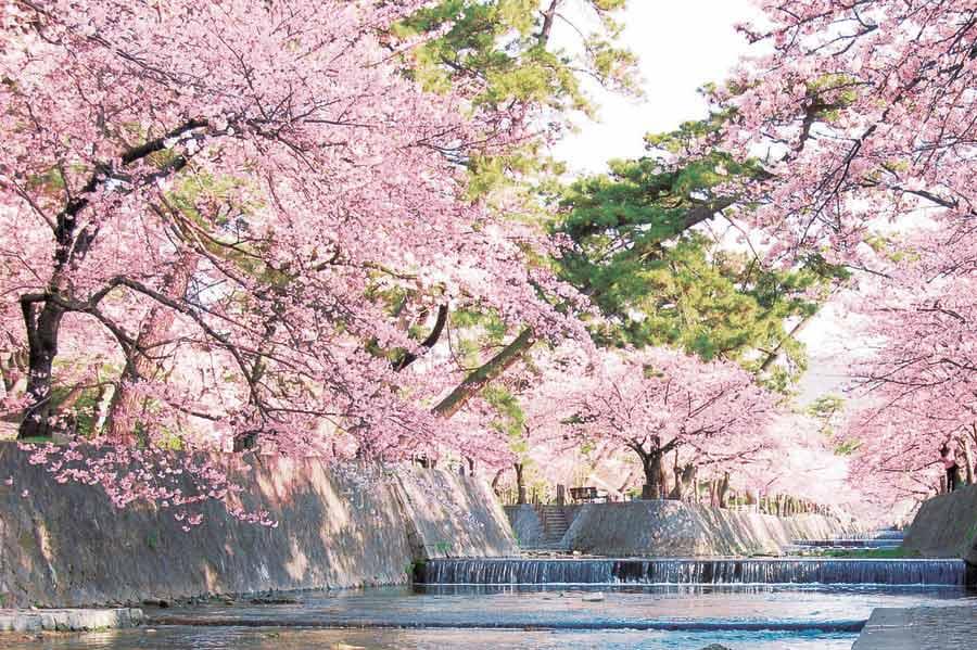 夙川沿いに咲く満開の桜