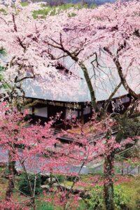 天龍寺と桜