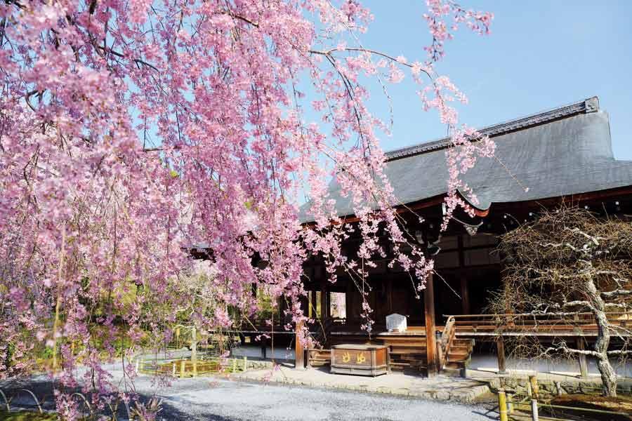 天龍寺の多宝殿としだれ桜