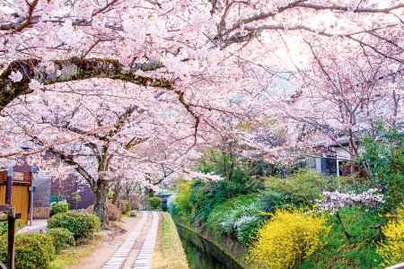 桜が満開の哲学の道