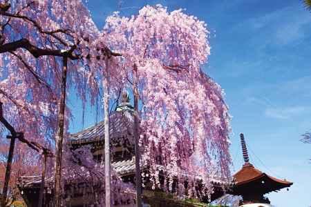 善峯寺の枝垂れ桜