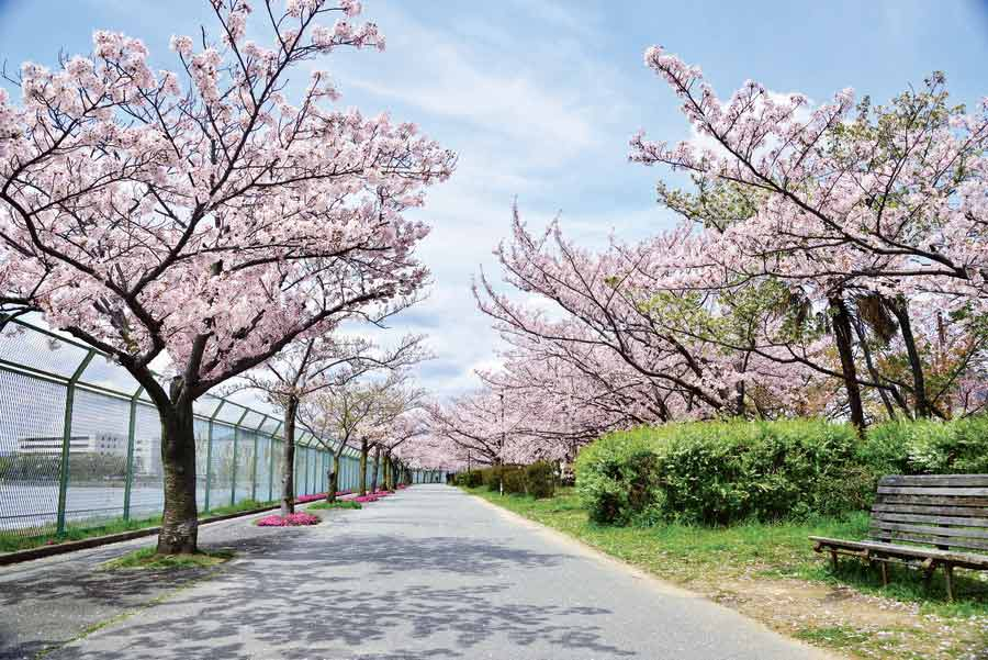 瑞ケ池公園の通り沿いに咲く桜