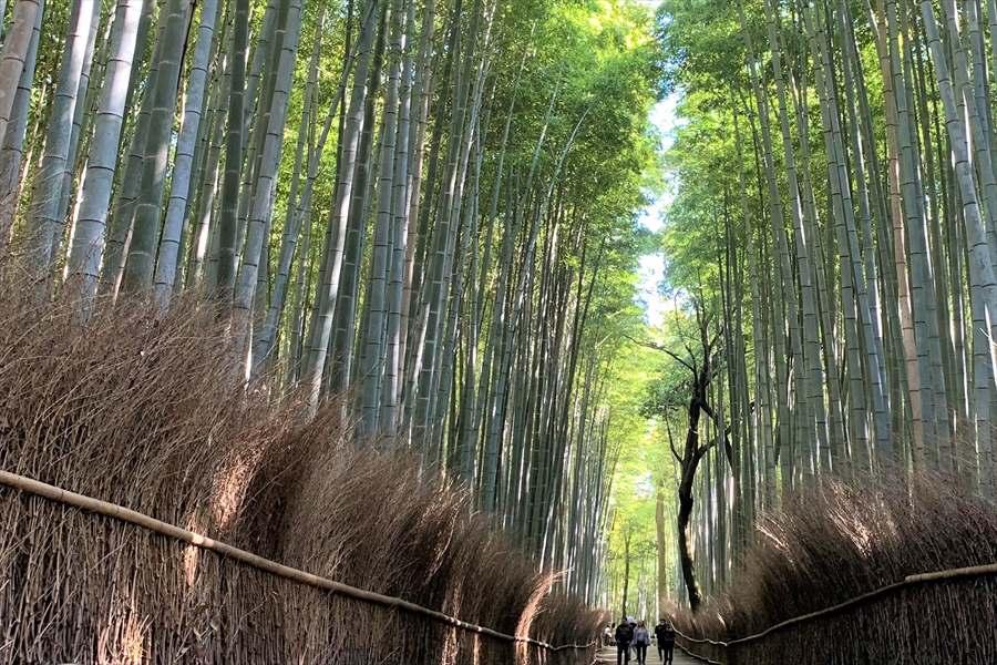 青竹が天までのびる竹林の小径