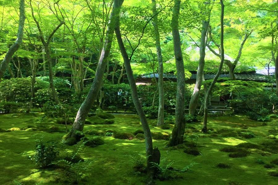 苔と青紅葉が美しい陰影を作る祇王寺