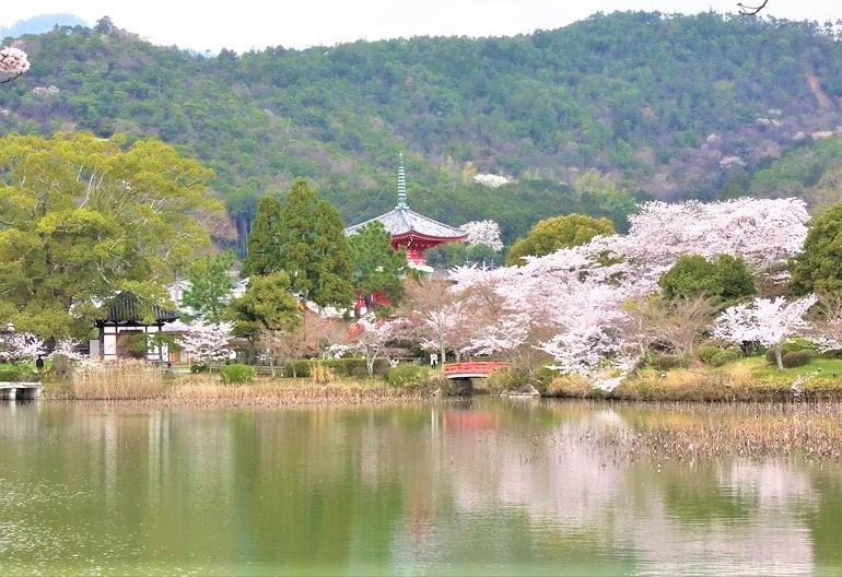 大沢池の周囲を取り囲む桜と遠くに見える宝塔