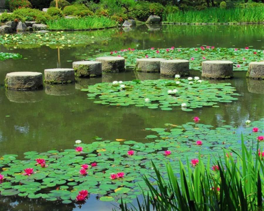 池をおおうように咲くスイレンの花