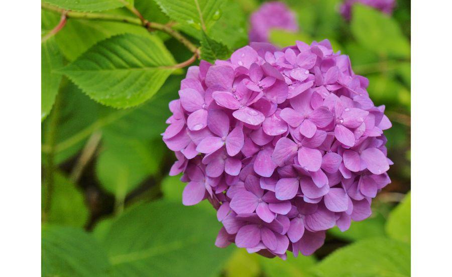 万博記念公園の、紫色のアジサイ