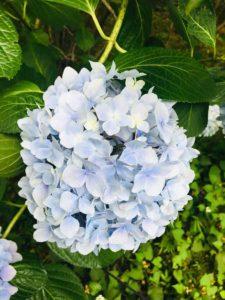 薄いブルーのアジサイ