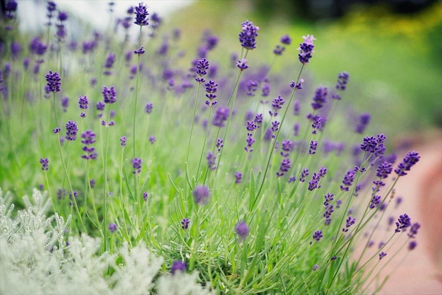 ラベンダーの香りが清々しいハーブ園