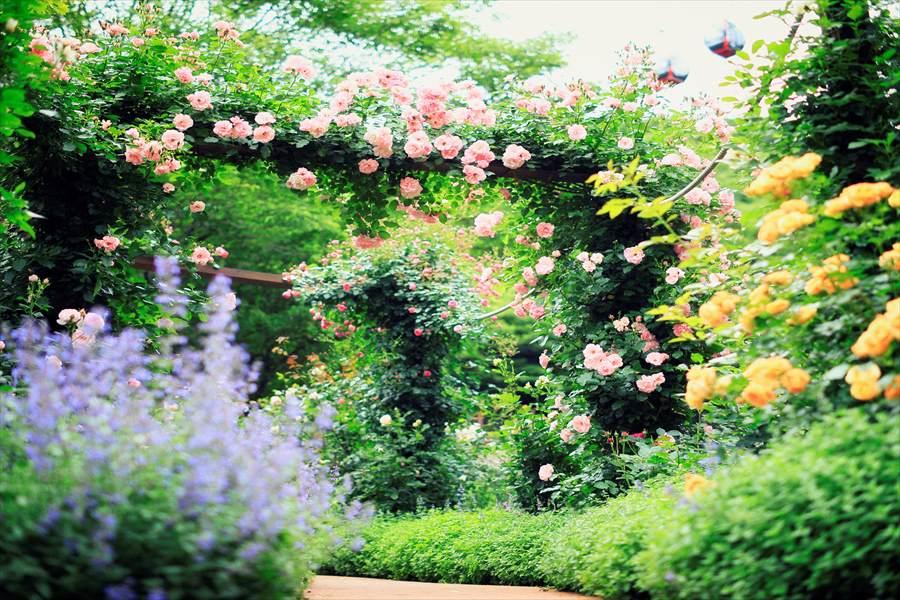 満開を迎えるイングリッシュバラ園