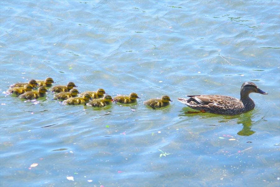 鴨川を親子で泳ぐ鴨の群れ