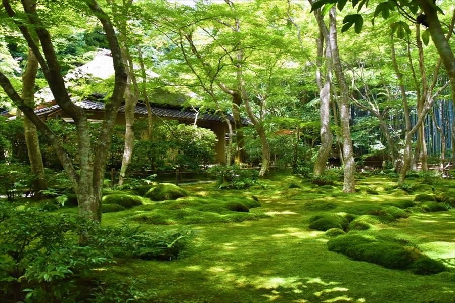 苔と青もみじが美しい苔寺