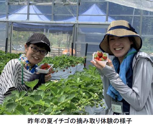 夏イチゴの摘み取り体験をする女性