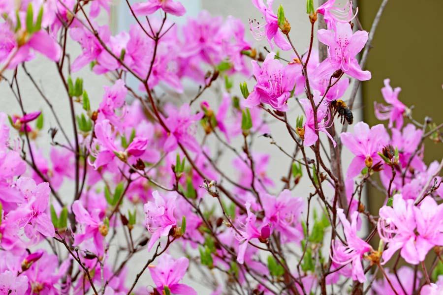 つつじが咲き誇る西宮神社の境内