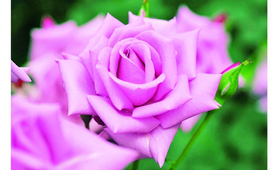 高貴な美しさのバラ・マダムヴィオレ