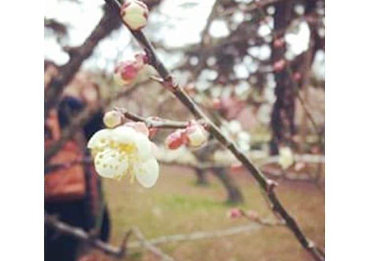 開花した白い梅