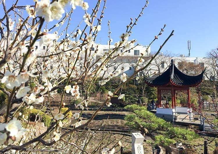 水月公園に咲く白い梅