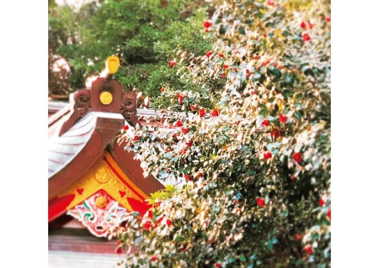 社殿前に咲く満開の椿