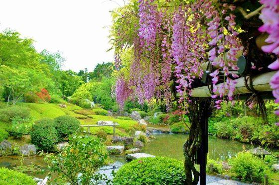 庭園に咲くフジ