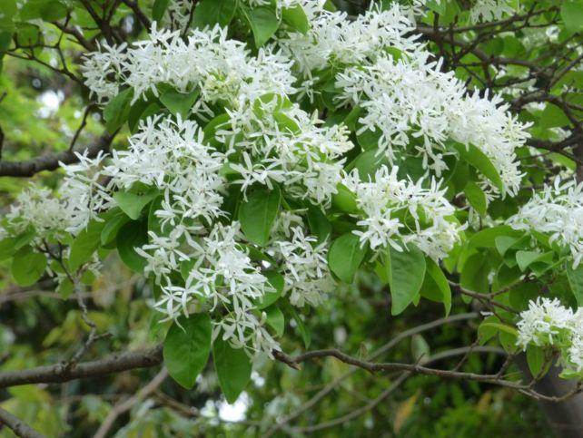 白い花を付けたナンジャモンジャ