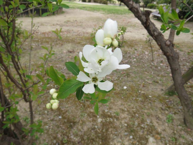 白い花をつけたリキュウバイ