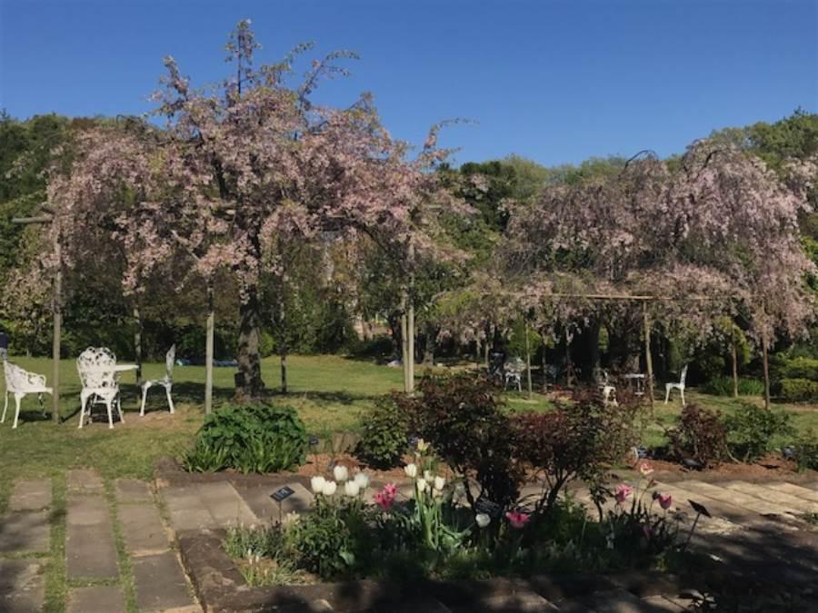 チューリップと八重桜