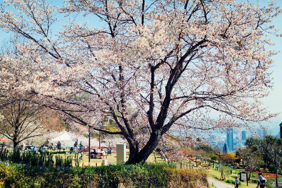 ハーブ園の桜と神戸の街並み