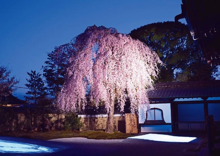 ライトアップされた高台寺の枝垂れ桜