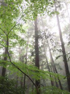 霧が立ち込める森の青モミジ