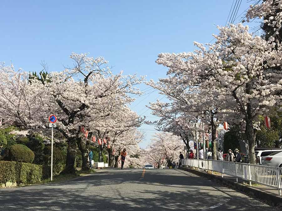 五月山公園の桜
